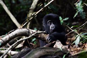 Uganda - Reisen - Berggorilla Trekking