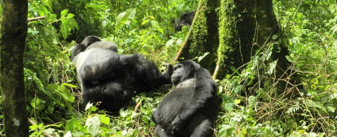 Reise in Ruanda mit Gorilla Tracking