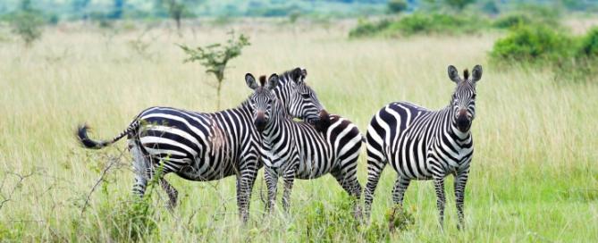 Zebras - Akagera Nationalpark, Ruanda Reise