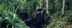 Ruanda - Reisen - Volcanoes Nationalpark