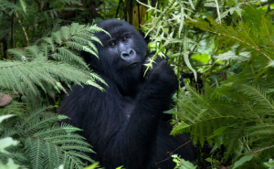 Gorilla - Uganda - Reisen