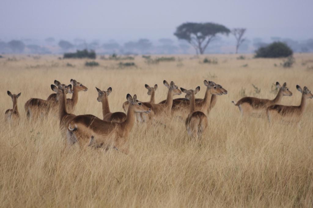 Antilopen - Safari - Nigeria