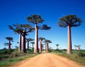 Madagaskar - Individualreise - Baobab