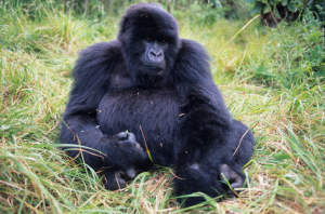 Ruanda - Individualreisen - Berggorilla
