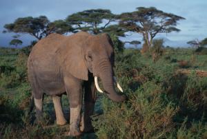 Elefant: Tansania Reisen, Serengeti