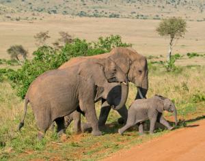 Kenia - Reisen - Elefanten