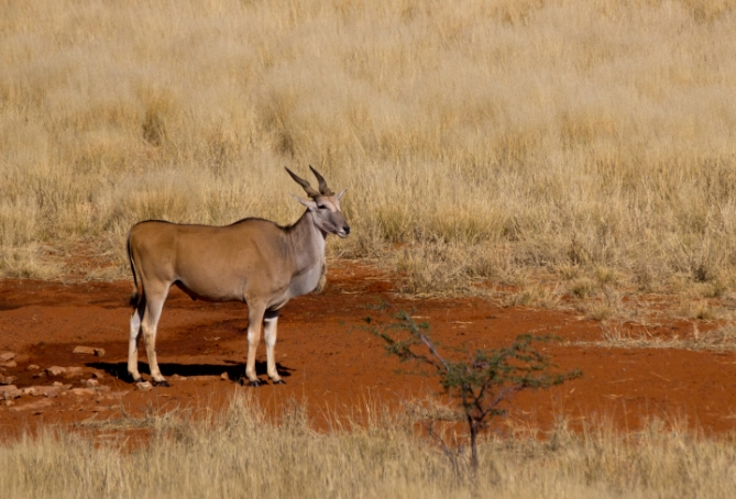 Südafrika - Reisen - Eland