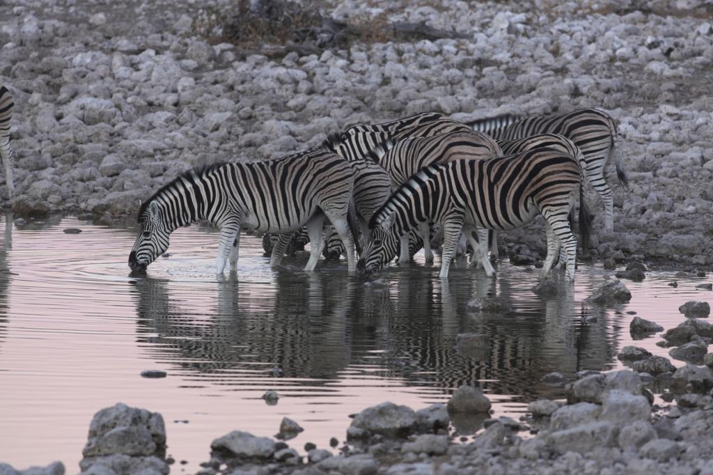 Namibia - Reisen - Zebras