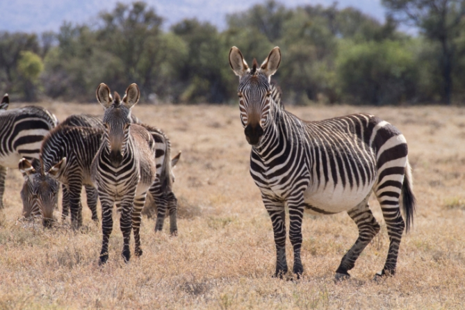 Südafrika - Reisen - Berbzebra