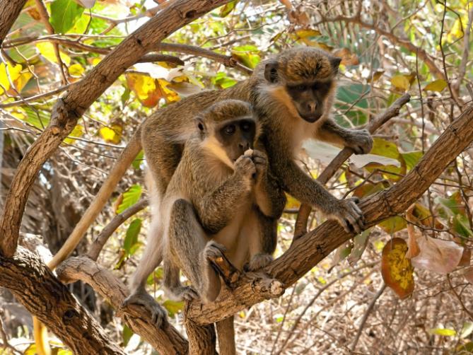 Gambia - Reisen - Affen