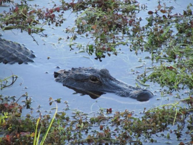 Elfenbeinküste - Reisen - Krokodil