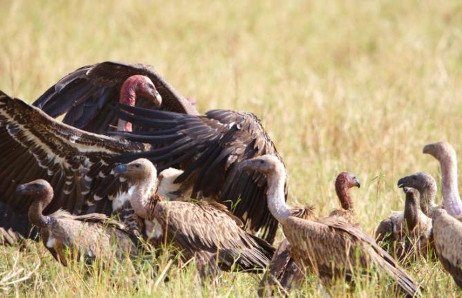 Kapgeier - Südafrika - Reisen