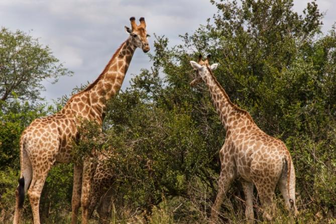 Südafrika - Reisen - Giraffen