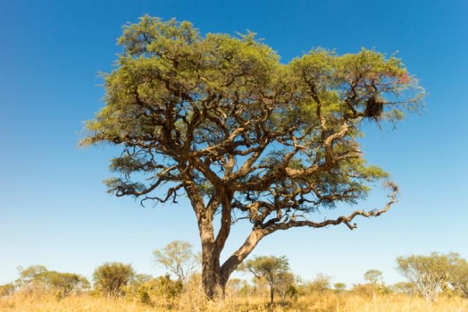 Namibia - Reisen - Kameldornbaum