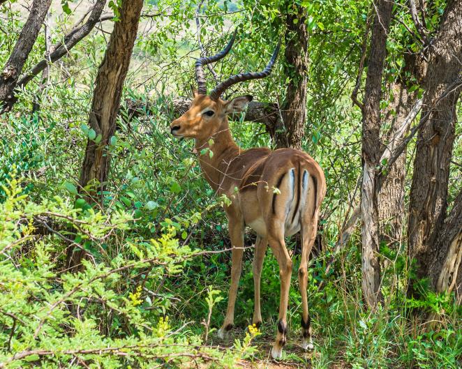 Antilope - Südafrika - Reisen