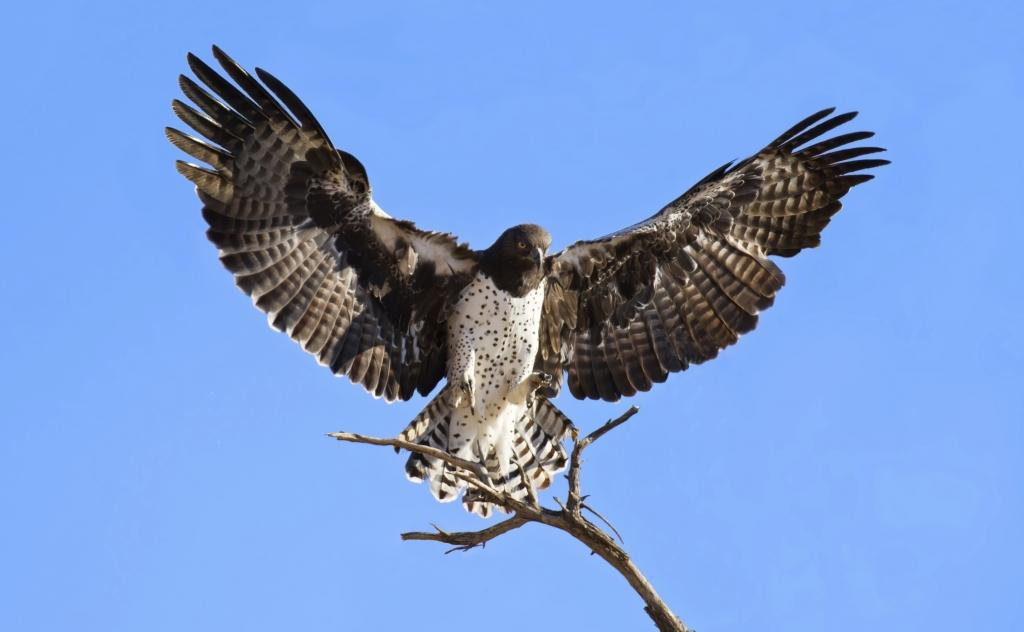 Südafrika - Reisen - Kampfadler