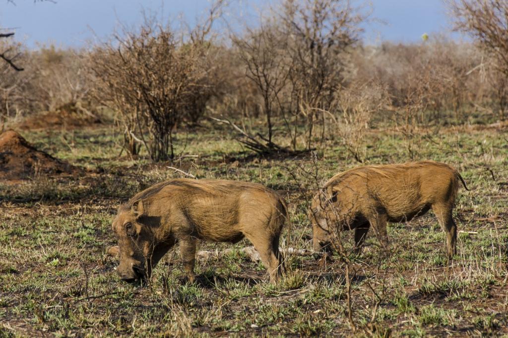 Liberia - Reisen - Warzenschwein