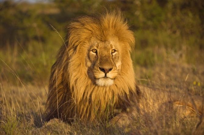 Südafrika - Reisen - Löwe