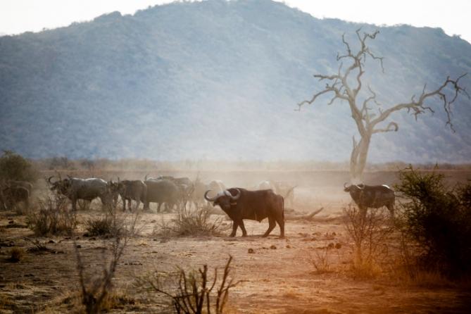 Südafrika - Reisen - Büffel
