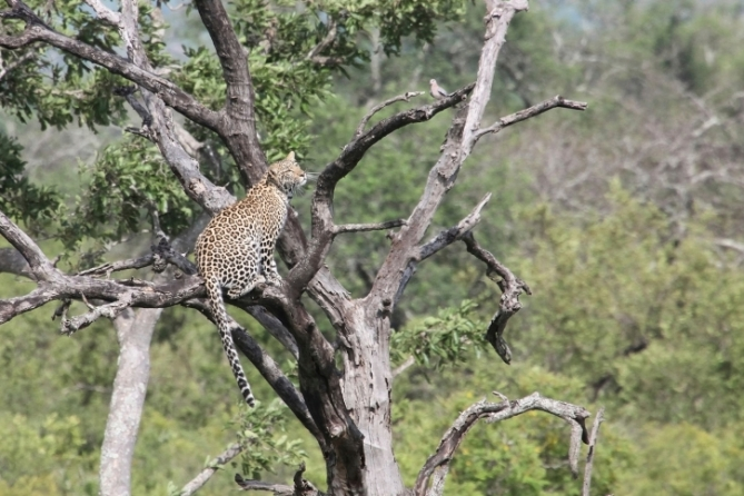Leopard - Südafrika - Reisen