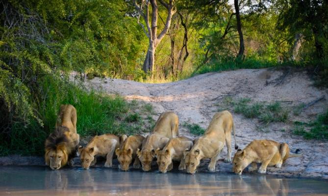 Löwen - Südafrika - Reisen