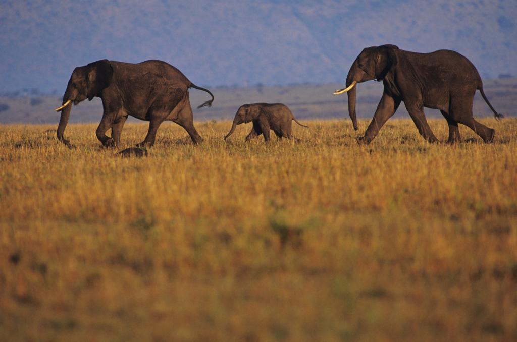 Elefanten - Mauretanien - Reisen