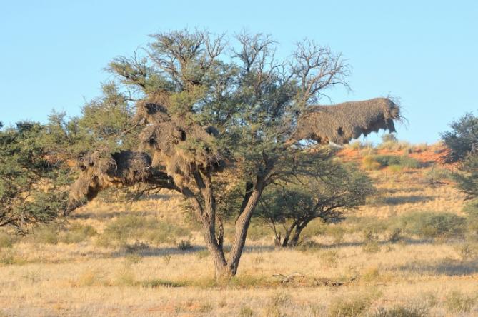 Kameldornbaum - Südafrika - Reisen