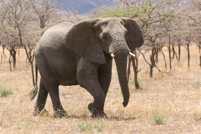 Burkina Faso - Reisen - Elefant