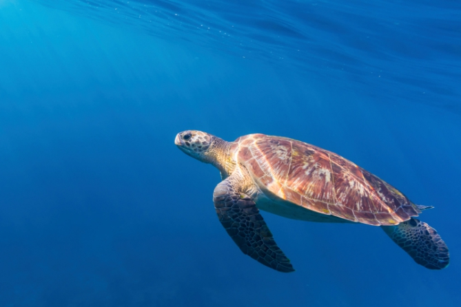 Guinea-Bissau - Reisen - Meeresschildkröte