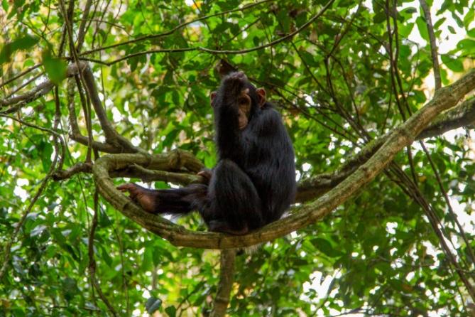 Elfenbeinküste - Reisen - Schimpanse