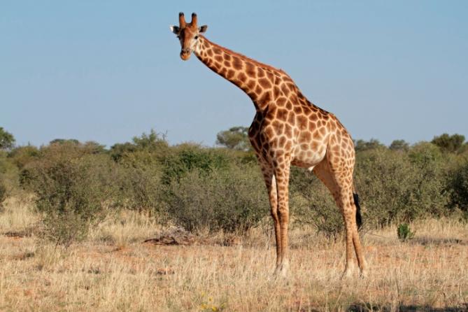 Giraffe - Südafrika - Reisen