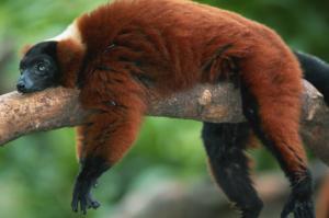 Madagaskar - Reisen - Lemuren