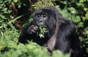 Berggorilla bei einer Ruanda Reise
