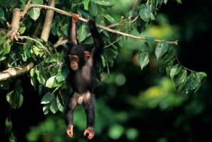 Ruanda - Reisen - Schimpansen