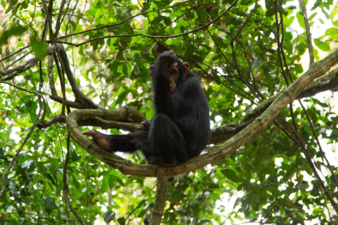 Guinea - Reisen - Schimpanse