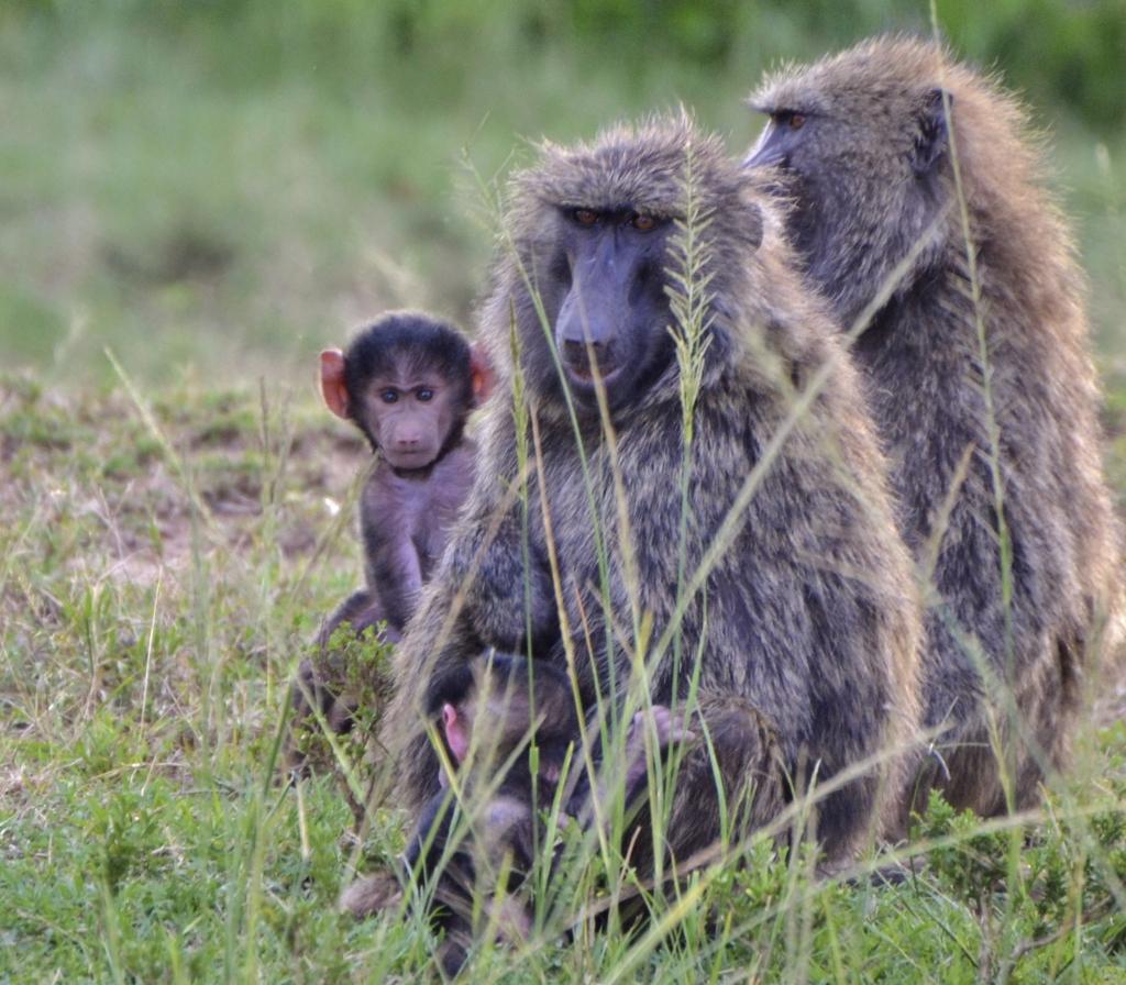 Affen - Senegal - Reisen