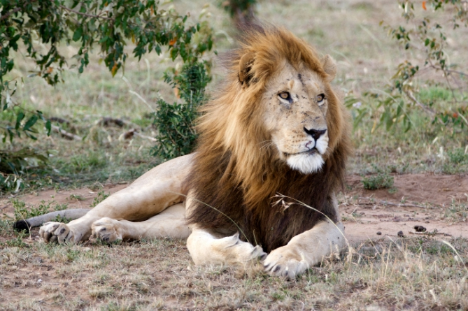 Guinea - Reisen - Löwe