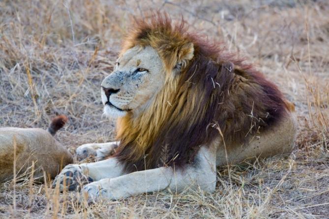 Swasiland - Reisen - Löwe