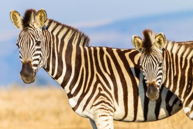 Zebras - Südafrika - Reisen