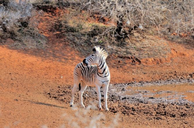 Südafrika - Reisen - Zebra