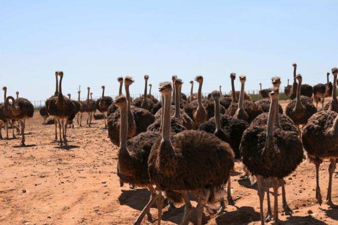 Südafrika - Reisen - Strauße