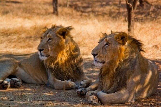 Südafrika - Tiere - Löwen