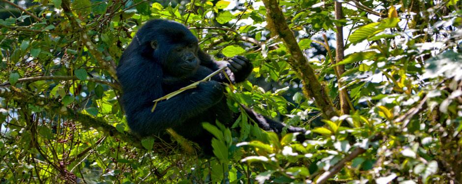 Uganda - Reisen - Berggorilla