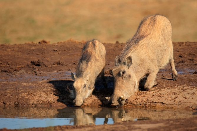 Südafrika - Reisen - Warzenschweine