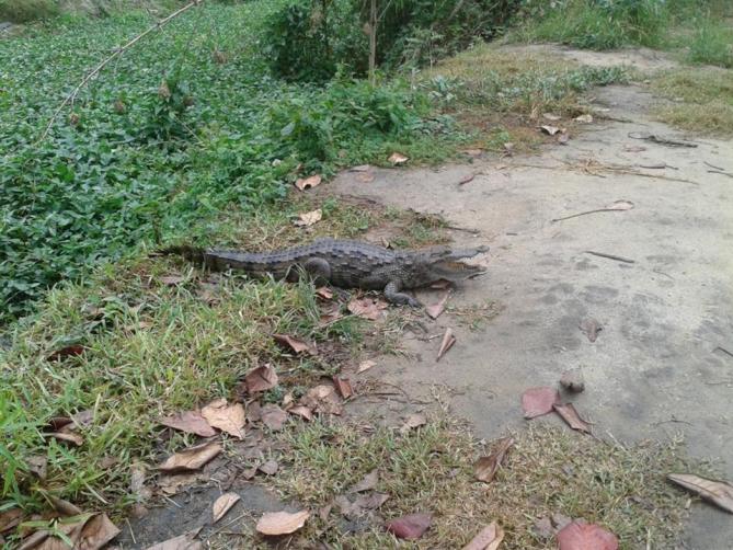 Ghana - Reisen - Krokodil
