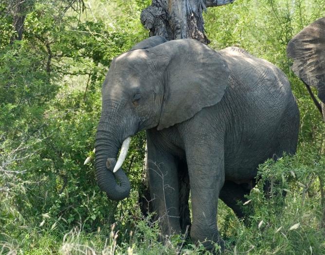 Guinea-Bissau - Reisen - Elefant