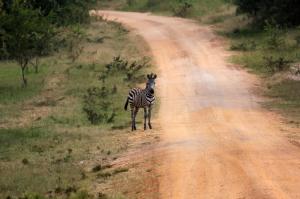 Uganda - Reisen - Zebra