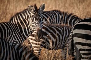 Simbabwe - Reisen - Safari
