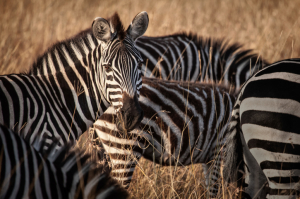 Botswana - Reisen - Moremi Game Reserve