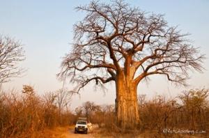 Simbabwe - Reisen - Baobab